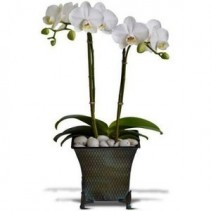 Dulce Duet 2 Phalaenopsis Orchids