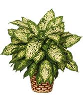 DUMB CANE PLANT  Dieffenbachia picta