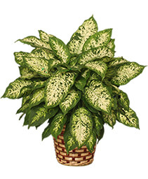 DUMB CANE PLANT  Dieffenbachia picta