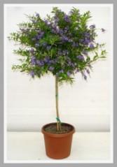 Duranta Tree Plant