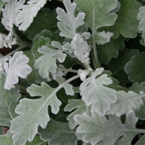 Dusty Miller Annual