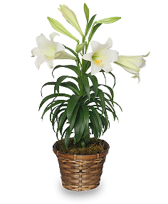 Traditional Easter Lily Flowering Easter Plant in Charlotte, NC | FLOWERS PLUS