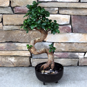Earthenware Bonsai Green Plants in Woodinville, WA | Woodinville Florist®