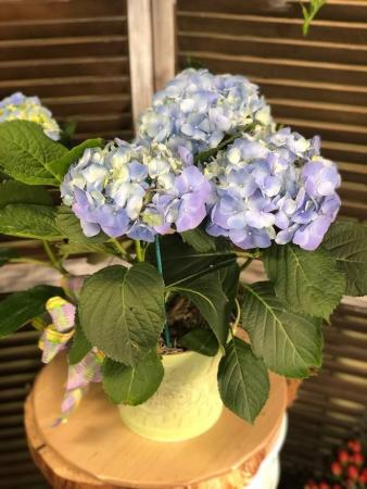 Hydrangea Blooming Plant
