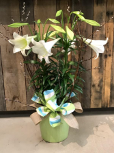 Easter Lily Blooming