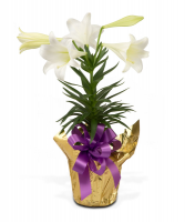 Easter Lily Blooming Plant