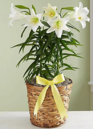 Easter Lily - Double Stem Plant