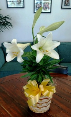 Easter Lily Flowering Easter Plant in Bluffton, SC | BERKELEY FLOWERS & GIFTS