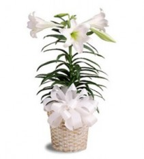 Easter Lily in Basket