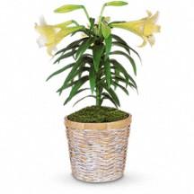 Easter Lily  Plant in Whitesboro, NY | KOWALSKI FLOWERS INC.