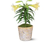Easter Lily Plant Easter