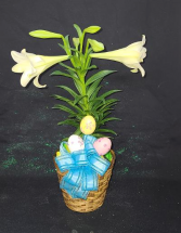 Single Easter Lily Plant in a Basket FHF-E2121 Plant