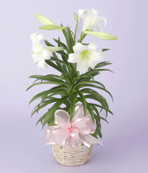 Easter Lily Plant    in Osoyoos, BC | Osoyoos Flowers
