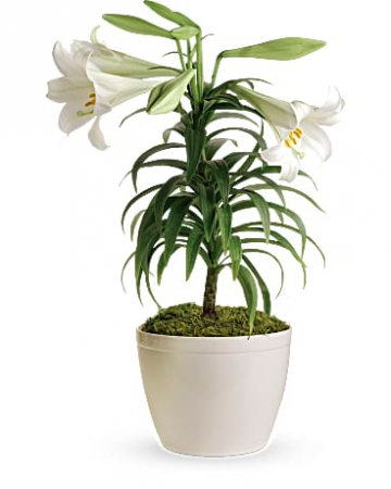 Easter Lily Plant T12z106