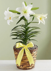 Easter Lily - Single Stem Plant