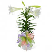 Easter Lily with Bow