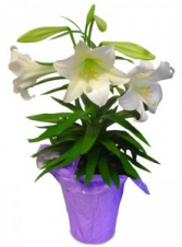 Easter Lily Sold Out