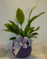 EASTER PEACE LILY Blooming Plant