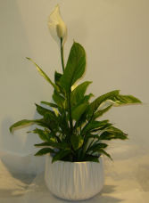 PEACE LILY Blooming Plant