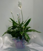 EASTER PEACE LILY Plant
