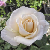 Easy Spirit™  5 gallon - Floribunda