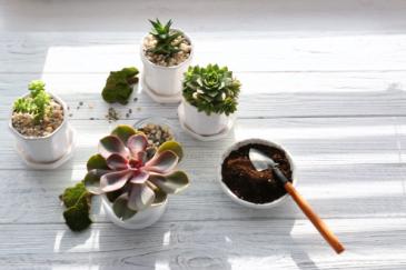 Echeveria Plants