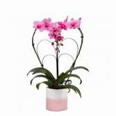 Elegant Heart Orchid Plant