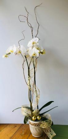 Elegant Orchid Plant