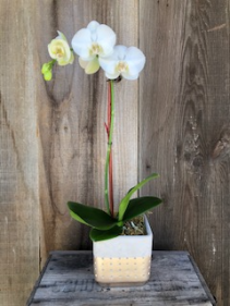 Elegant Orchid Potted Plant