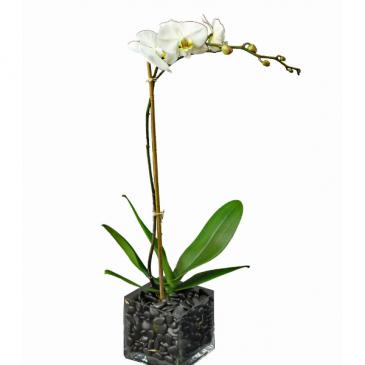 Elegant Orchid White