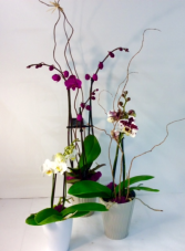 Elegant Orchids  in Troy, Michigan | ACCENT FLORIST