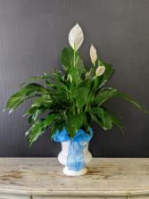 Elegant Peace lily