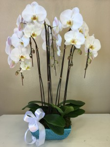 Elegant Phalaenopsis  Orchid Plant in Riverside, CA | Willow Branch Florist of Riverside