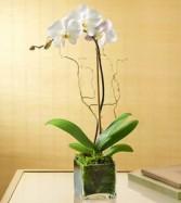 Elegant WHITE Orchid arrangement Orchid