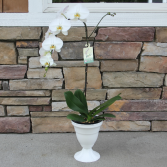Elegently White Orchid