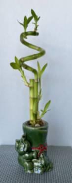 Elephant Lucky Bamboo Trio Plant