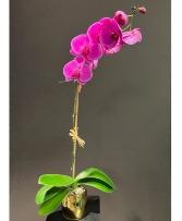 Elite Orchid Plant Lavender or White Dendrobium Available