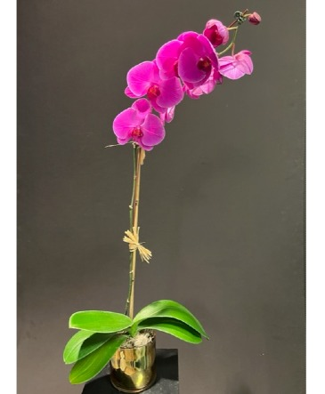 Elite Orchid Plant Lavender or White Dendrobium Available