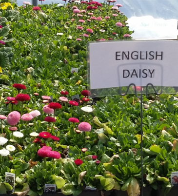 English Daisy Perennial - Sun to part shade