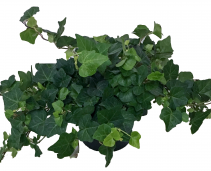 English Ivy Green Plant