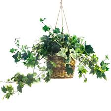 english ivy in a basket plant