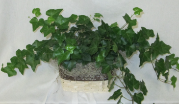 English Ivy in Basket Green House Plant