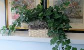 English Ivy in Basket Indoor House Plant