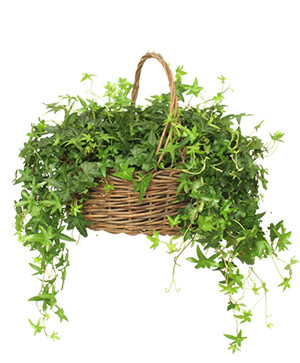 ENGLISH IVY PLANT  Hedera helix  in Ozone Park, NY | Heavenly Florist