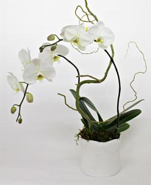 ENLIGHTENMENT Phalaenopsis Orchid Plant in Omaha, NE | BLOOMS