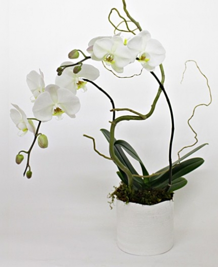 ENLIGHTENMENT Phalaenopsis Orchid Plant
