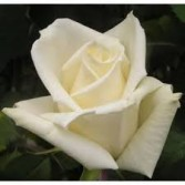 Eskimo White Rose