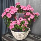 Eternity Azalea Plant