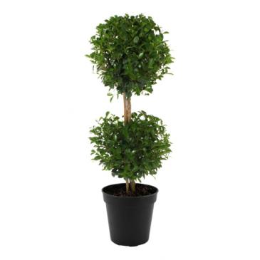 Eugenia Topiary Plant