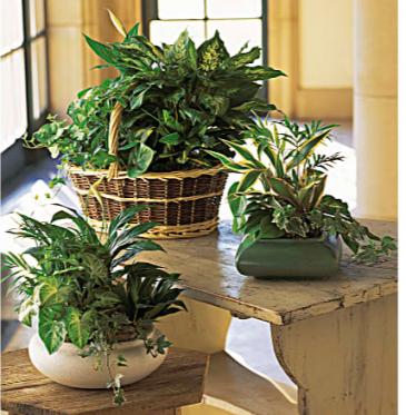 European Dish Garden Plants